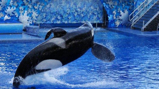 Dopo vittime e polemiche, stop agli spettacoli con le orche a SeaWorld