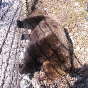 Trentino, orso trovato morto in Val di Non: forse avvelenato