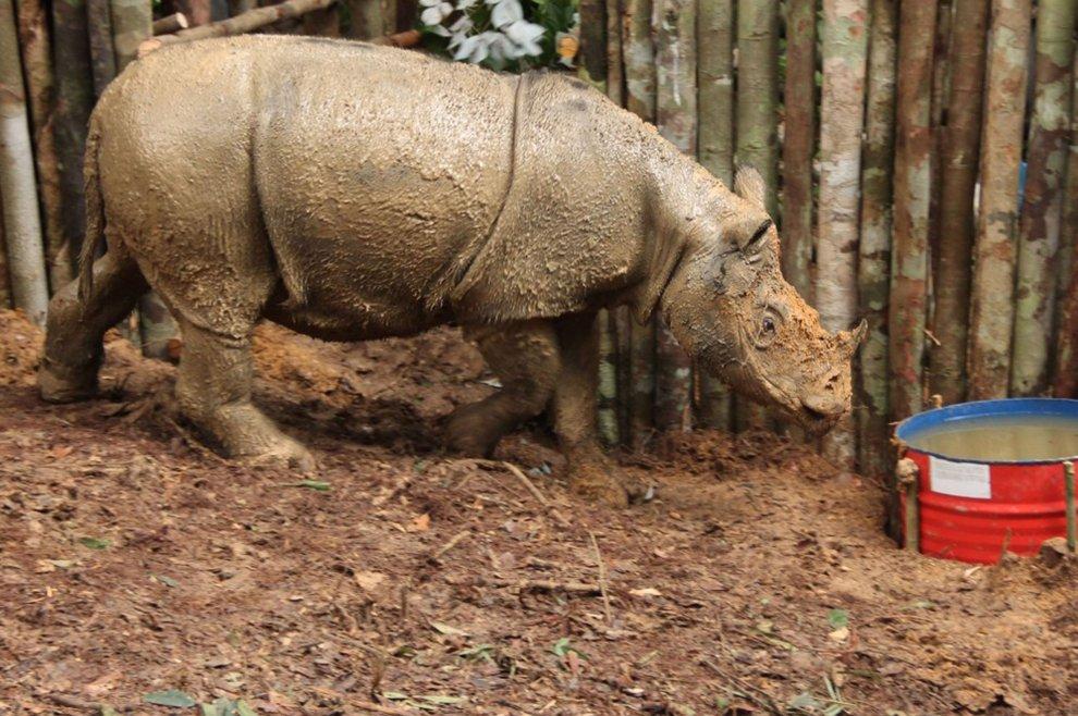 Borneo, il rinoceronte di Sumatra non è estinto: la scoperta del Wwf