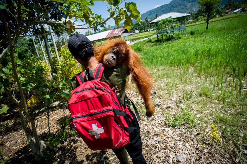 Indonesia, una spalla su cui riposarsi: il trasporto dell'orango addormentato