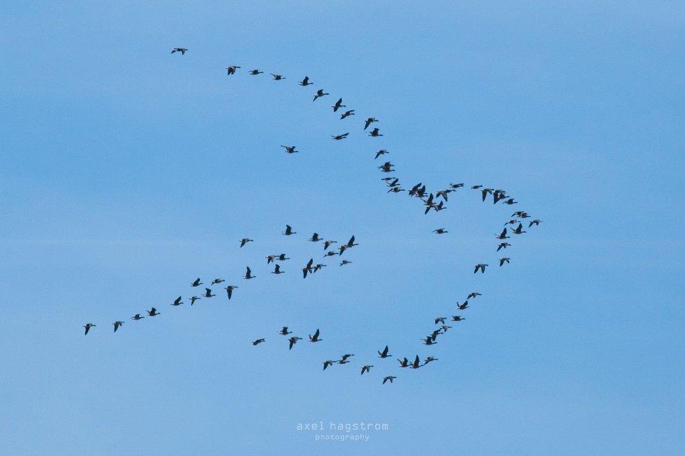 Un segno di pace nel cielo: lo scatto allo stormo è perfetto