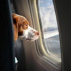 Aerei, cani mai più in stiva: tutti in cabina con il padrone