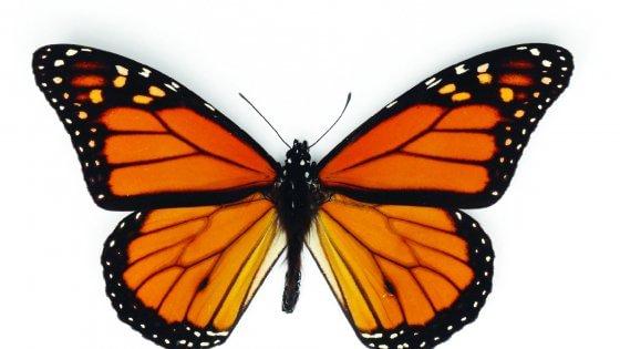 La bussola segreta delle Monarca e le farfalle volano per 4000 km