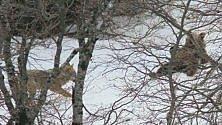 Abruzzo: orso e lupo giocano  sulla neve, la sequenza