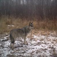 Lupi e volpi a Chernobyl: 30 anni dopo il disastro abbonda la fauna selvatica