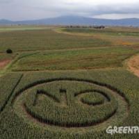 Greenpeace: l'Ue blocca le regole sugli Ogm sotto pressione degli Usa