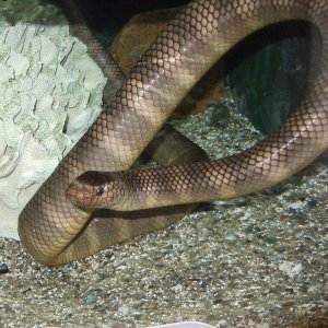 Lauticada, una nuova mappa per i serpenti più pericolosi