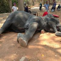 Cambogia, l'elefante esausto morto per trasportare i turisti