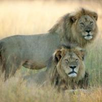 Cecil, il re leone diventa fiaba: i cuccioli adottati dall'ex rivale