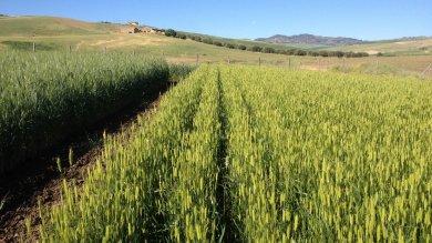 La rivoluzione dei contadini: grani antichi contro le multinazionali     Foto  Torna la biodiversità