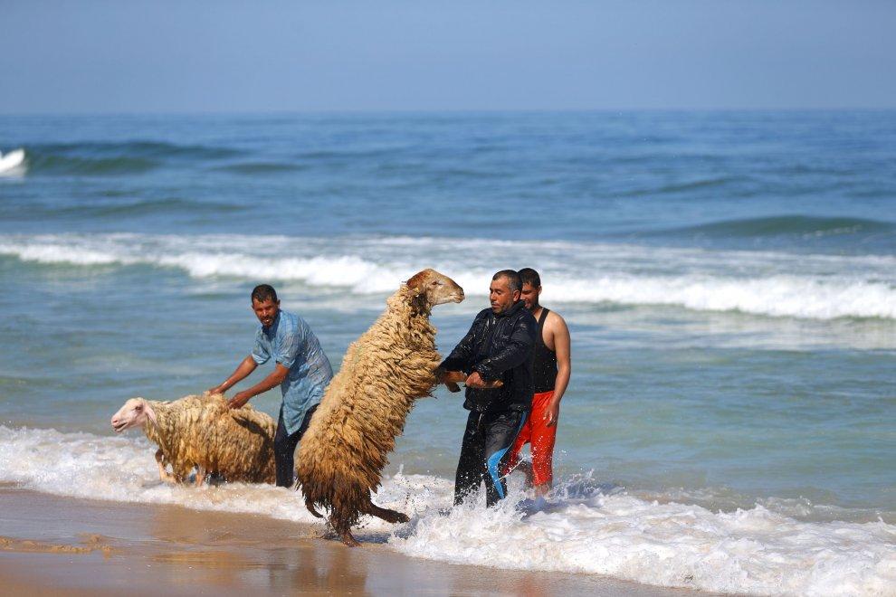 Gaza, un tuffo nel Mar Mediterraneo: i  pastori beduini lavano gli agnelli
