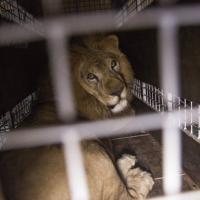Destinazione libertà: il viaggio verso l'Africa dei leoni salvati dai circhi