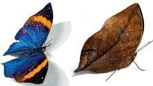 Mimetismo e insetti:   le ingannevoli ali delle farfalle