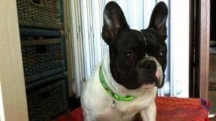 Pato, il cagnolino scomparso ad Arezzo e ritrovato a Napoli. Dopo tre anni