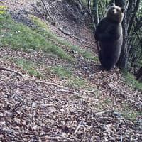 Trentino, ecco perché l'orso si gratta: lo rivelano le foto-trappole