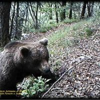 Trentino, dove vanno a spasso gli orsi bruni: la foto-trappola sugli alberi grattatoio