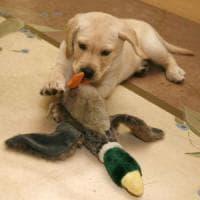 """Labrador geneticamente ciccioni: """"Aiuteranno a sconfiggere l'obesità"""""""