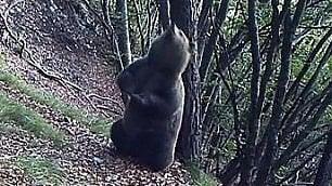 Grattarsi non è solo un piacere L'orso spiato mentre lo fa    Foto      Leggi l'articolo    di RAFFAELLA SCUDERI