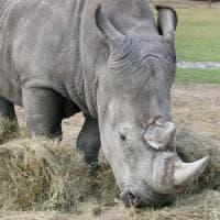 """Staminali e clonazione: """"Salvate quel rinoceronte sull'orlo dell'estinzione"""""""