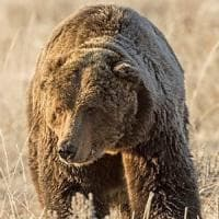 ''Scarface è stato ammazzato'', il grizzly di Yellowstone come il leone Cecil