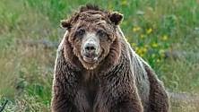 ''Scarface è stato ucciso'' Caccia al killer del grizzly   Foto  L'orso 'veterano'