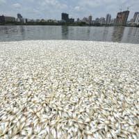 Cina, oltre 30 tonnellate di pesci morti affiorano dal lago