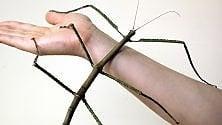 Individuato in Cina l'insetto più lungo mai visto: 62,4 centimetri