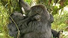 I gorilla conoscono i piaceri dell'amore saffico