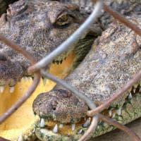 Coccodrilli, tigri, leoni, elefanti e & C: maltrattati per compiacere i turisti