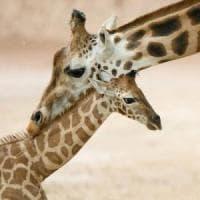 Giraffa, la mappa del Dna racconta i segreti del suo collo lungo