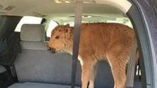 Baby bisonte condannato a morte dall'aiuto sconsiderato dei turisti