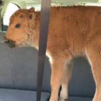 """L'etologo Alleva e il baby bisonte di Yellowstone: """"Salvarlo? Sarebbe stato complicato, ma..."""