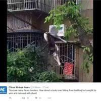 Cina, il volo dell'husky fortunato: cade dalla finestra ma i fili lo salvano
