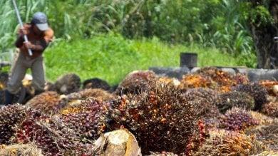 Olio di palma nei cibi per bambini. Dalloliva al girasole, le alternative possibili