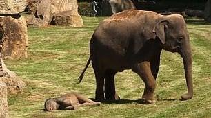 L'elefantino non si muove più lo scherzo del piccolo alla mamma