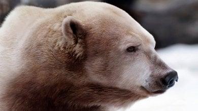 Grizzly e orsi polari, l'amore  al tempo del global warming