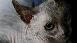 Scoperto raro ''gatto mannaro'' Ne esistono solo 34 esemplari