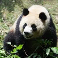 Panda in Cina, la rinascita: +15% di esemplari in tre anni