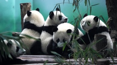 Panda in Cina, la rinascita  +15% di esemplari in tre anni