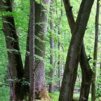 Polonia, la foresta patrimonio Unesco a rischio disboscamento