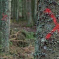 Alberi abbattuti nella più antica foresta d'Europa. Proteste degli ambientalisti