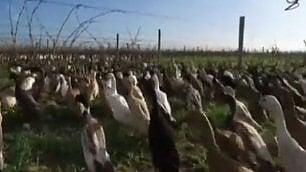 Un esercito infinito di papere La missione: salvare il vino