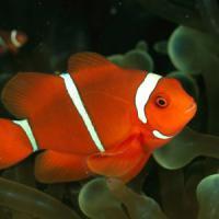 E' Nemo il più minacciato dallo sbiancamento dei coralli