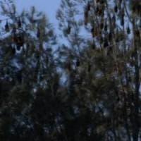 Batemans Bay, la città invasa dai pipistrelli