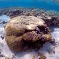 Australia, la Grande barriera corallina a rischio: lo sbiancamento ha ucciso il 35% dei...
