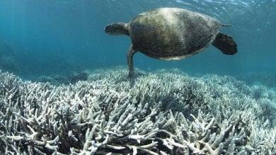 La Grande barriera sta morendo Australia, sbiancato il 35% dei coralli