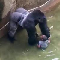 Bimbo cade nel recinto del gorilla, la rete contro i genitori: