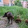 Cinghiali & Co, quando  la natura va a vivere in città