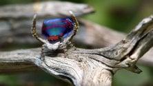 Ragni pavone: scoperte sette nuove specie
