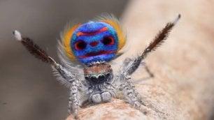 Ragni pavone, sette nuove specie   ''Si comportano come cani e gatti''